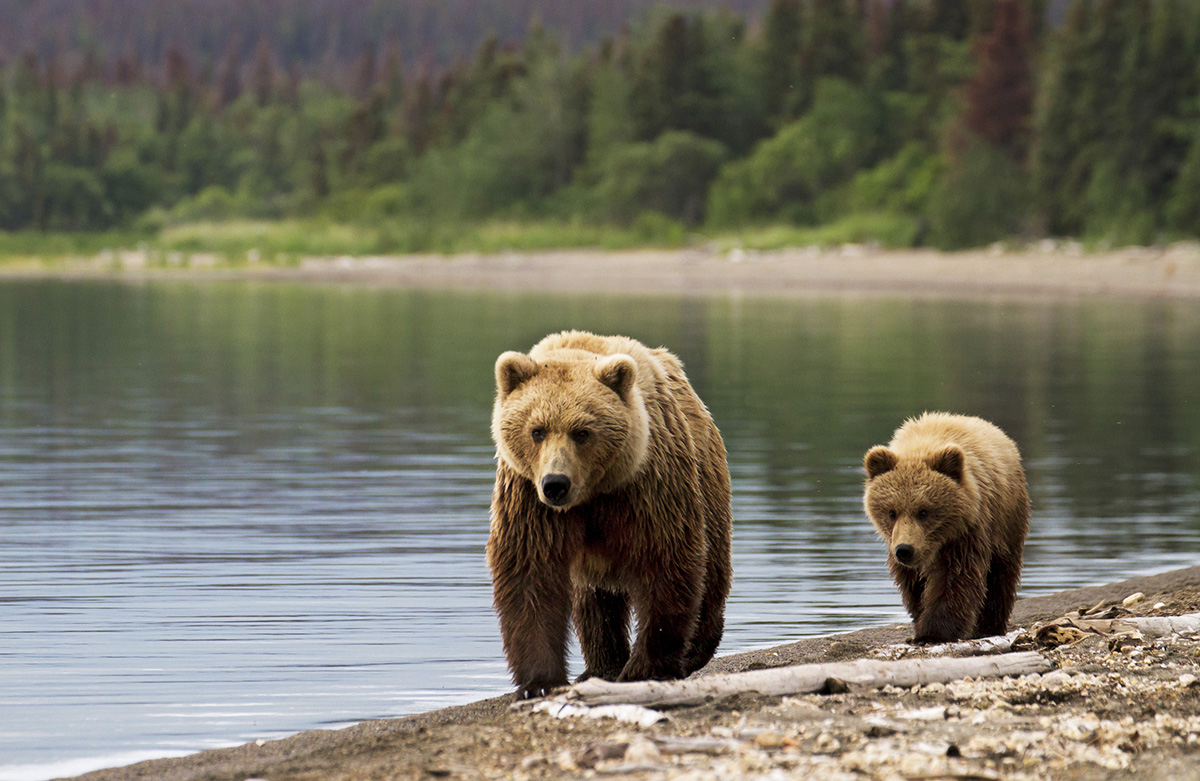 Grizzly sow with cub at dawn walking on the beach in Alaska